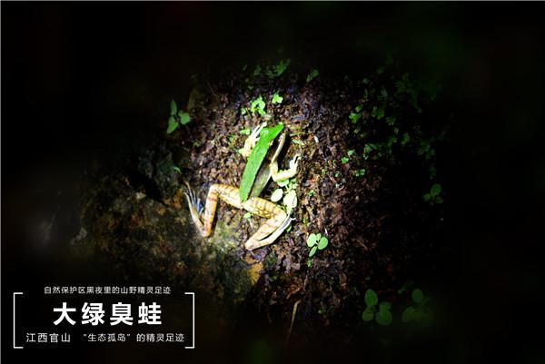 31 大绿臭蛙