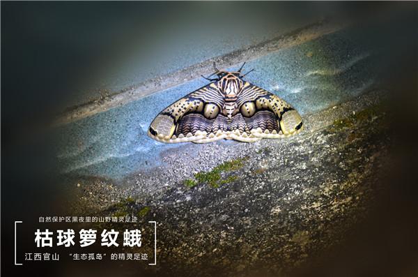 49 枯球箩纹蛾