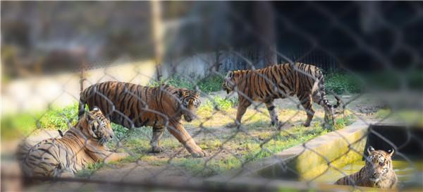 27 孟加拉虎