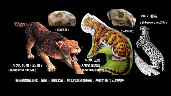 16 假猫 后猫 云豹