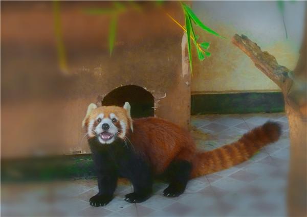 28 小熊猫